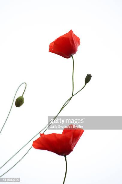 Close-up of poppy over white background