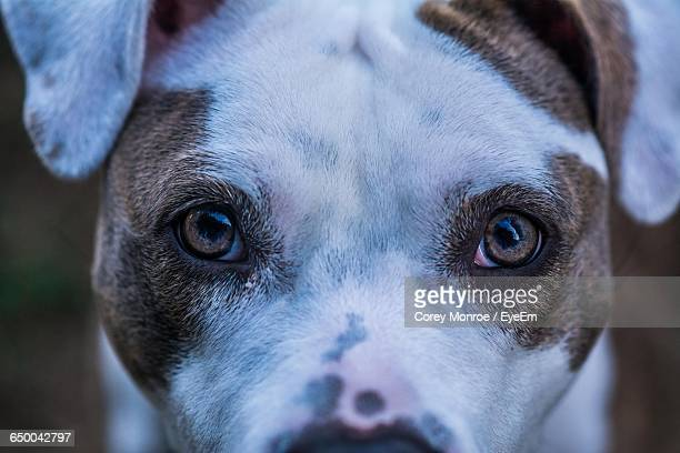 close-up of portrait of american bulldog - american bulldog stock photos and pictures