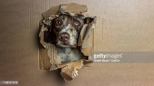 close-up of portrait of dog peeking through hole in box - peeping holes ストックフォトと画像