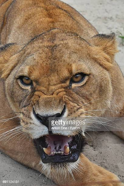 Close-Up Of Portrait Of Roaring Lioness