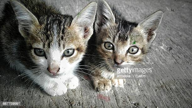 Close-Up Of Portrait Of Stray Kittens On Wooden Floor