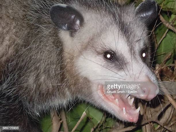 Close-Up Of Possum By Plants