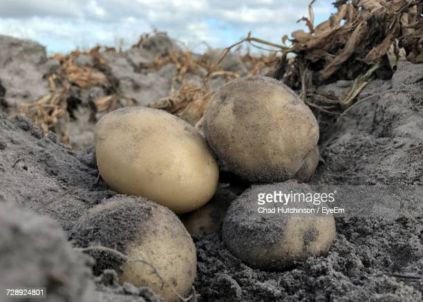 Close-Up Of Potatoes In Field