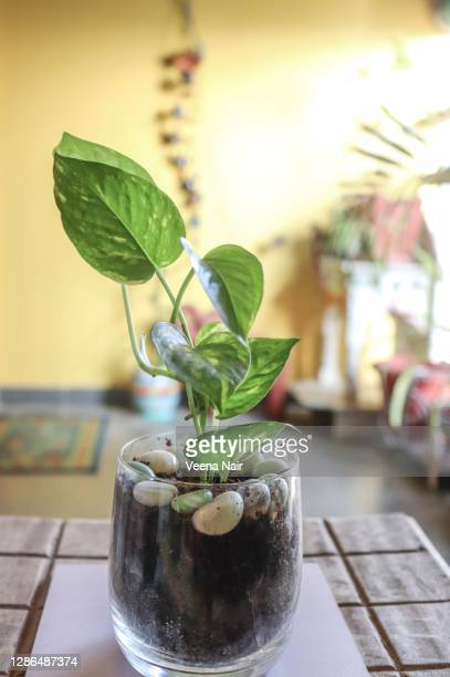 close-up of pothos/money plant in a glass with pebbles on a wooden table/balcony garden - ahmedabad stock pictures, royalty-free photos & images