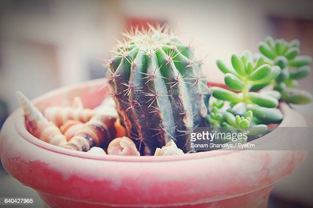 Close-Up Of Potted Cactus Growing Outdoors