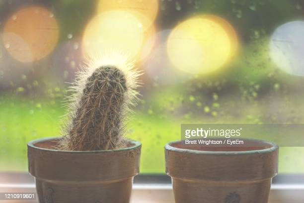 close-up of potted cactus plant - carlisle stock pictures, royalty-free photos & images