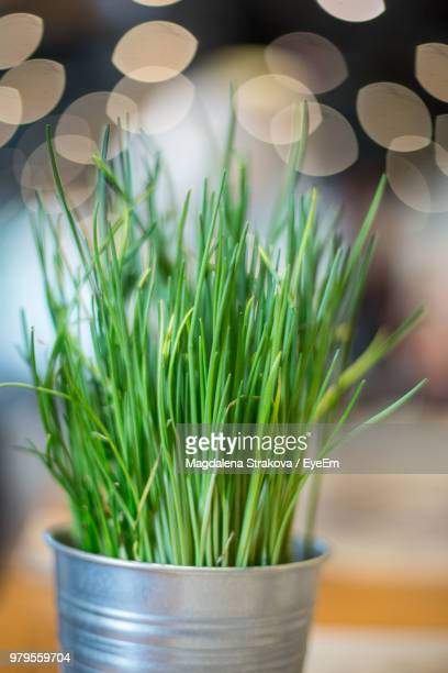 close-up of potted chives against lens flare - チャイブ ストックフォトと画像