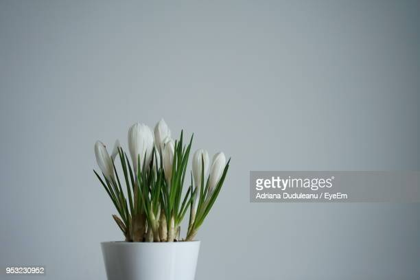 close-up of potted flowers against gray background - adriana duduleanu stock photos and pictures