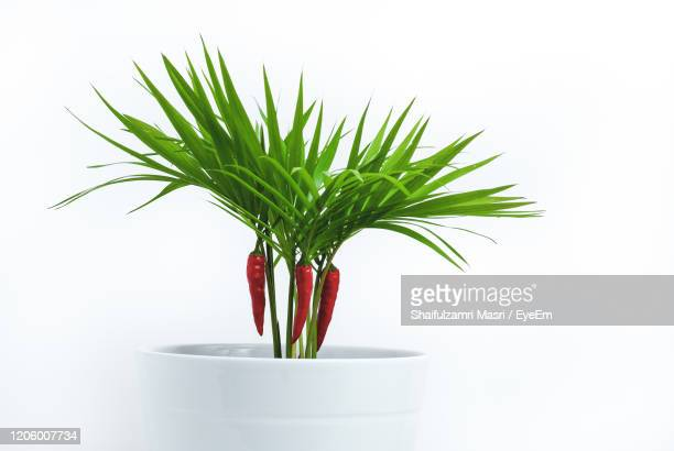 close-up of potted plant against white background - shaifulzamri foto e immagini stock