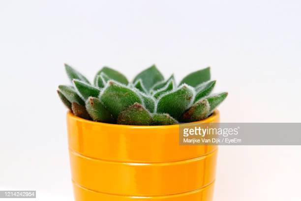 close-up of potted plant against white background - van dijk stock pictures, royalty-free photos & images