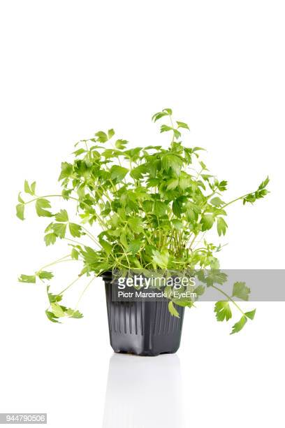 close-up of potted plant against white background - 鉢植え ストックフォトと画像