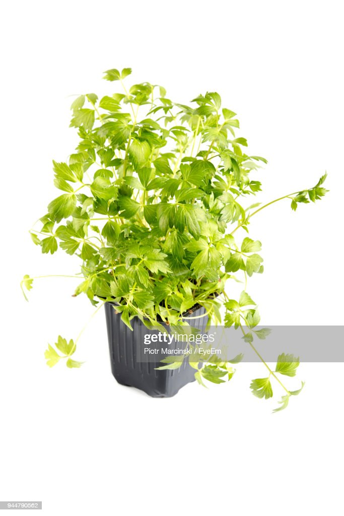 Close-Up Of Potted Plant Against White Background : Stock Photo