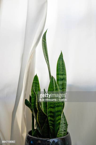 Close-Up Of Potted Plant By Curtain