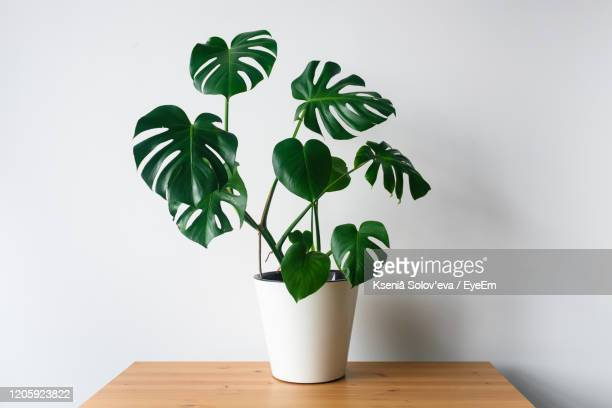 close-up of potted plant on table against wall - tropical bush stock pictures, royalty-free photos & images
