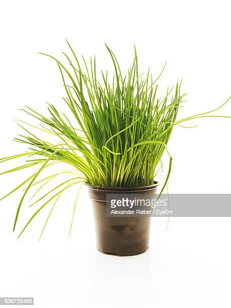 close-up of potted plant over white background - チャイブ ストックフォトと画像