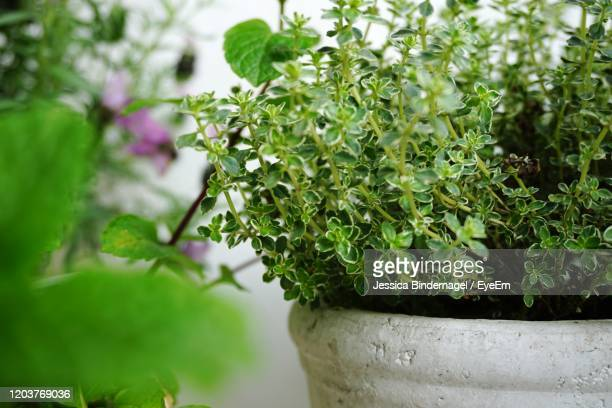 close-up of potted plant - thyme stock pictures, royalty-free photos & images
