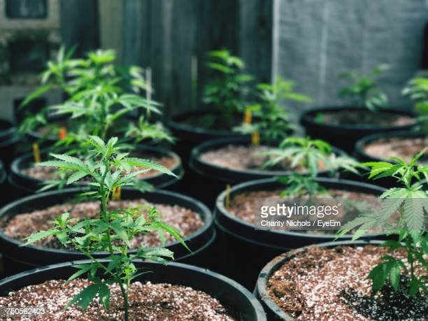close-up of potted plants - medical cannabis stock photos and pictures
