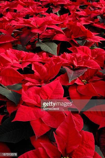 close-up di rosso in vaso poinsettias in serra crescita - stella di natale foto e immagini stock