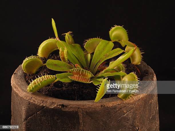close-up of potted venus flytrap against black background - carnivorous stock pictures, royalty-free photos & images