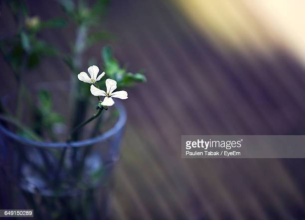 close-up of potted white flowers on floorboard - paulien tabak foto e immagini stock