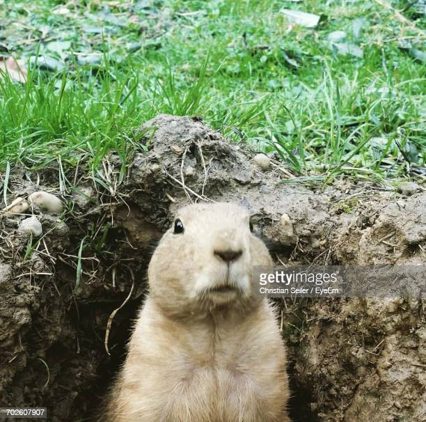 close-up of prairie dog in burrow - prairie dog stock pictures, royalty-free photos & images