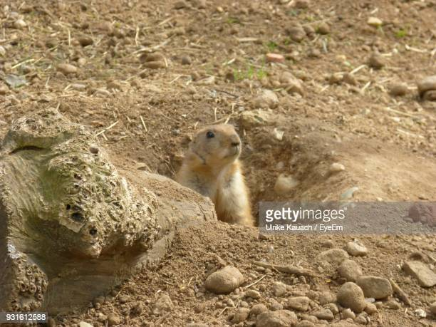 close-up of prairie dog in hole - prairie dog stock pictures, royalty-free photos & images