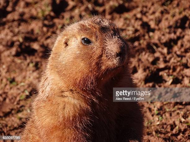 Close-Up Of Prairie Dog Looking Away