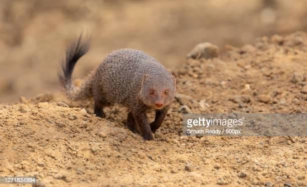 close-up of prairie dog on land, wattegama, sri lanka - mangusta foto e immagini stock