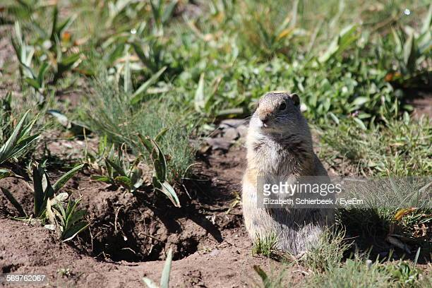Close-Up Of Prairie Dog Standing On Field