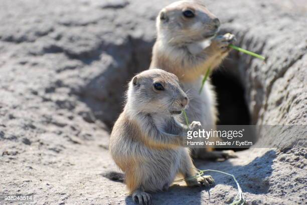 Close-Up Of Prairie Dogs Sitting On Rock