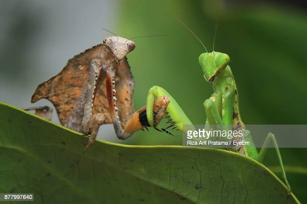 close-up of praying mantes on leaf - praying mantis stock photos and pictures