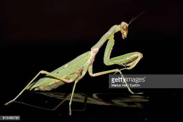 close-up of praying mantis against black background - praying mantis stock photos and pictures