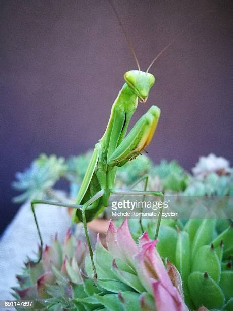 close-up of praying mantis on plant - praying mantis stock photos and pictures