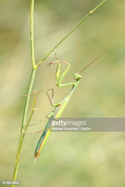 close-up of praying mantis on plant - michael hruschka stock pictures, royalty-free photos & images