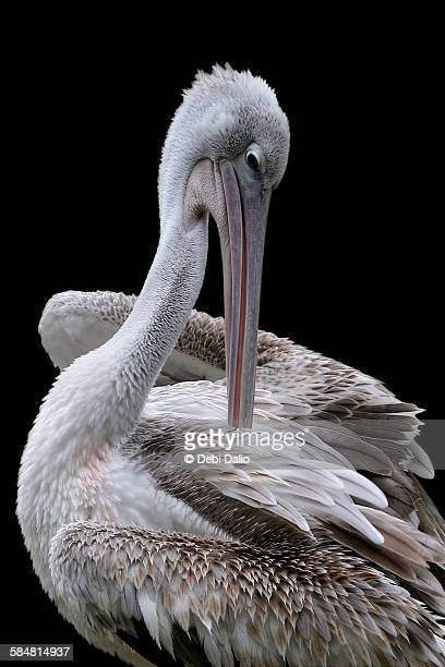 Close-up of Preening Pink-Backed Pelican