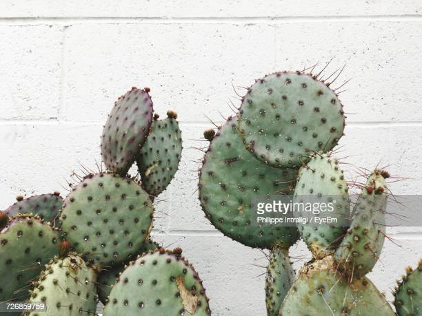 Close-Up Of Prickly Pear Cactus Against Wall