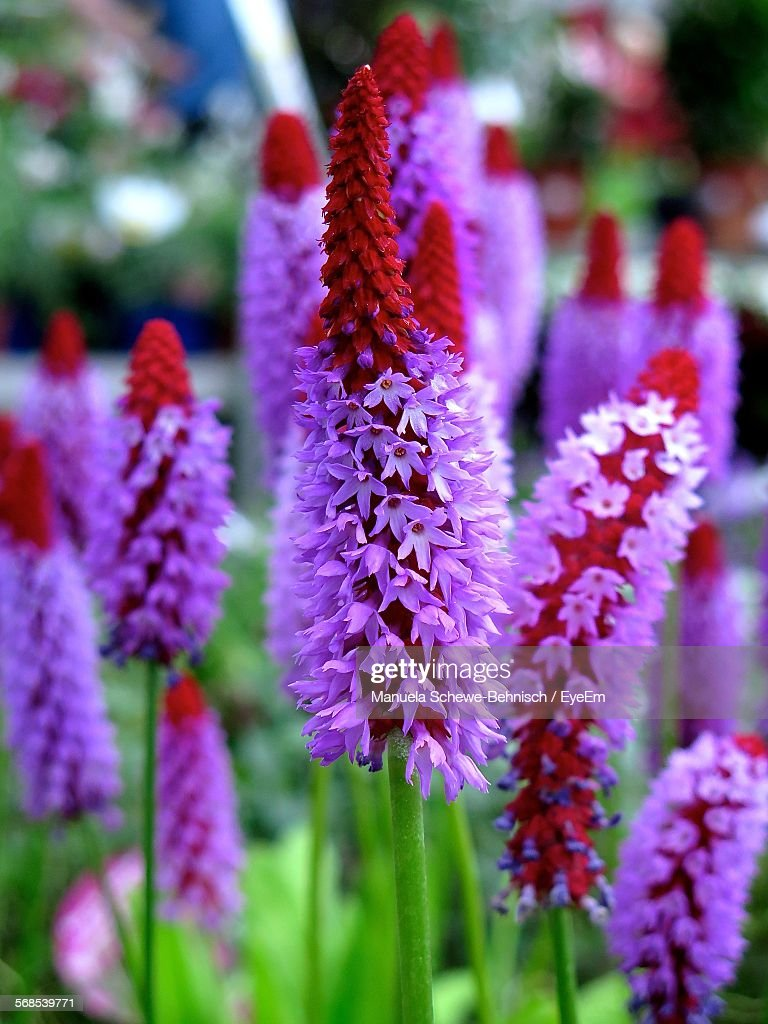 Close-Up Of Primula Vialii Blooming Outdoors : Stock Photo