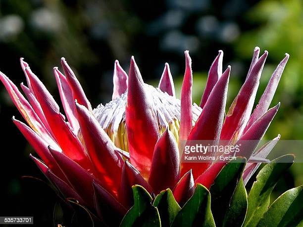 Close-Up Of Protea Blooming On Field During Sunny Day