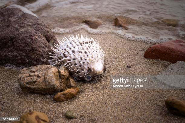 Close-Up Of Puffer Fish On Sand At Beach