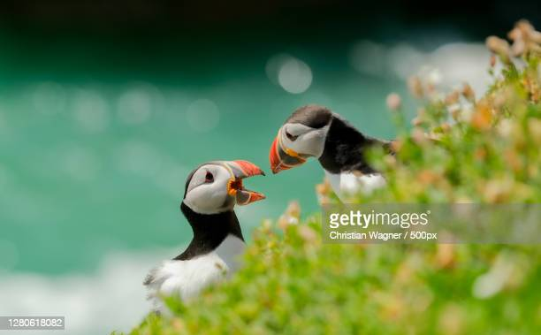 close-up of puffin perching on grass,county wexford,ireland - leinster province stock pictures, royalty-free photos & images