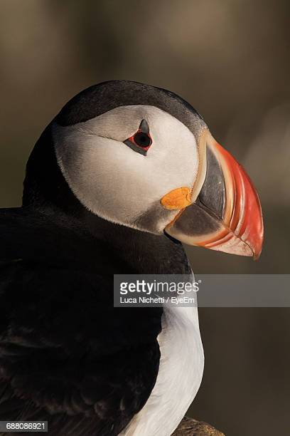 close-up of puffin - beak stock pictures, royalty-free photos & images