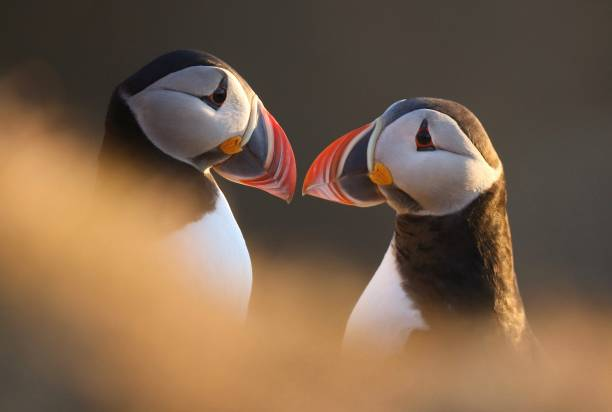 Close-Up Of Puffins
