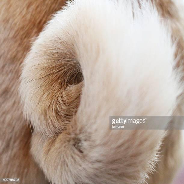 Close-up of pug dog tail
