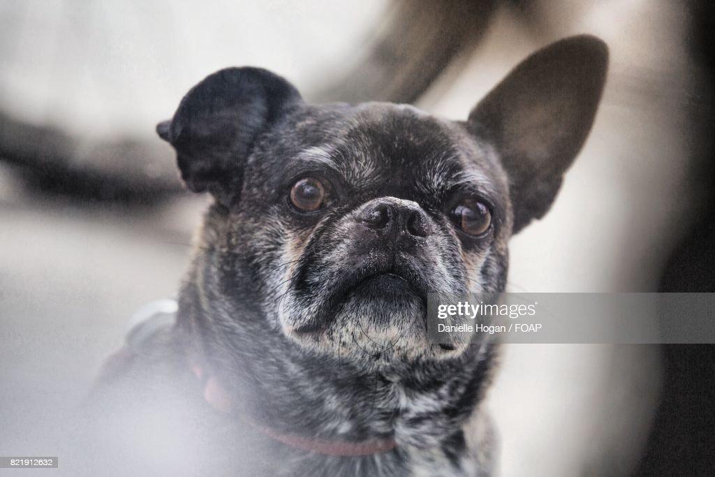 Close-up of pug : Stock Photo