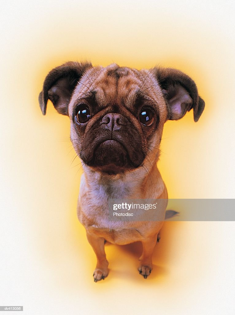 Close-up of Pug : Stock Photo
