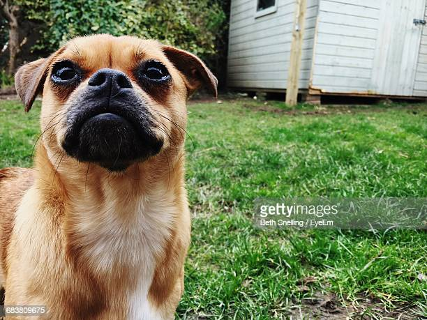 close-up of puggle puppy on grassy field - hillsborough sheffield stock pictures, royalty-free photos & images