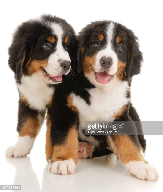 Close-Up Of Puppies Against White Background