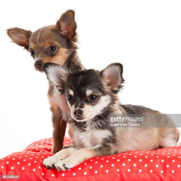 Close-Up Of Puppies On Bed Against White Background