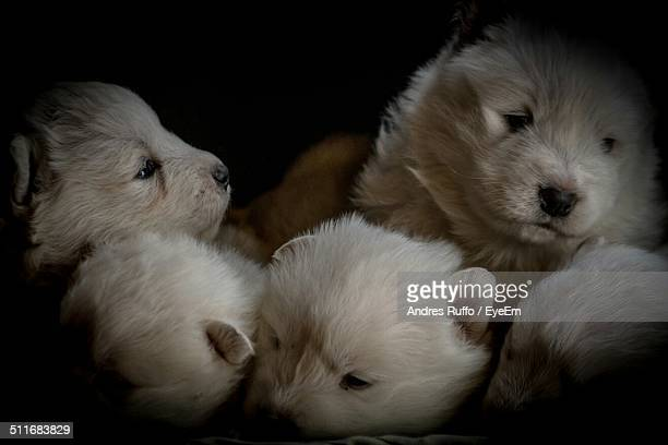 close-up of puppies over black background - andres ruffo stock photos and pictures