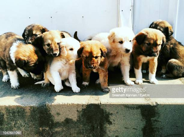 close-up of puppies standing on retaining wall - large group of animals stock pictures, royalty-free photos & images